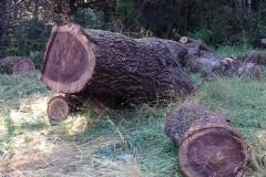 Walnut burl stump.